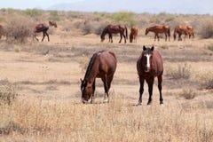Vildhästar i den Arizona öknen Royaltyfri Fotografi