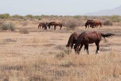 Vildhästar i den Arizona öknen Arkivbilder