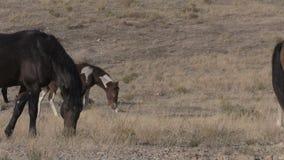 Vildhästar i den Utah öknen arkivfilmer