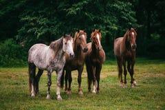 Vildhästar i fältet Arkivbild