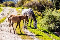 Vildhästar i naturen Royaltyfri Foto