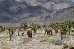 Vildhästar i Nevada royaltyfri fotografi