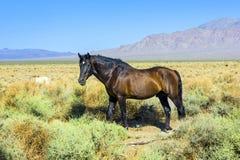 Vildhästar i prarien Arkivfoto
