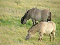 Vildhästar i stäppen Arkivfoton