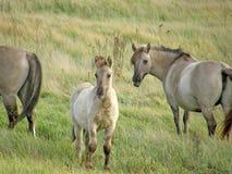 Vildhästar i stäppen Fotografering för Bildbyråer
