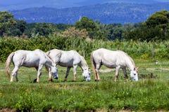 Vildhästar Italien Arkivfoton