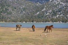 Vildhästar kör royaltyfri bild