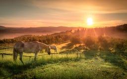 Vildhästar och tuscan soluppgång fotografering för bildbyråer