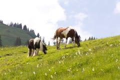 Vildhästar på de österrikiska fjällängarna Royaltyfri Foto