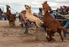 Vildhästar på den yrkesmässiga rodeon Royaltyfria Foton
