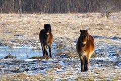 Vildhästar på en kall morgon Royaltyfri Fotografi