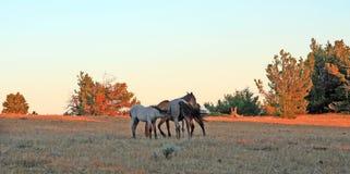 Vildhästar på solnedgången - blåa Roan Colt som vårdar hans blåa roan stomoder på Tillett Ridge i de Pryor bergen av Montana USA Arkivfoto