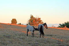 Vildhästar på solnedgången - blåa Roan Colt som vårdar hans blåa roan stomoder på Tillett Ridge i de Pryor bergen av Montana USA Arkivbilder