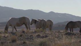 Vildhästar som betar i den Utah öknen arkivfilmer