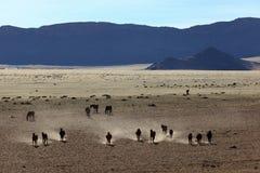 Vildhästar som kör i Namiben Arkivfoton