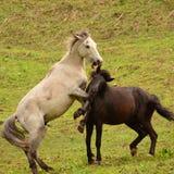 Vildhästar som spelar i ett fält Fotografering för Bildbyråer