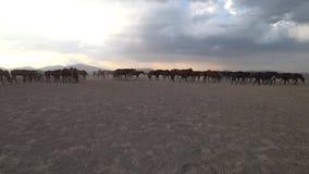 Vildhästar som vilar i äng lager videofilmer