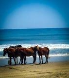 Vildhästarna av de yttre bankerna North Carolina royaltyfri fotografi