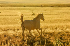 Vildhästen galopperar majestically i öknen på solnedgången arkivbilder
