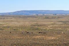 Vildhästflock i Colorado den höga öknen Arkivbilder