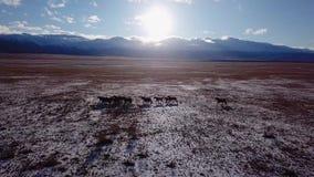 Vildhästflockspring på ängantennfluga över vinterstäppen med hingst för djur för skönhet för liv för snönatur lösa lager videofilmer