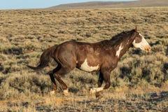 Vildhästspring i den Colorado öknen Arkivfoton