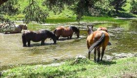 Vildhästar i de Catalan Pyreneesna, Spanien Arkivbilder