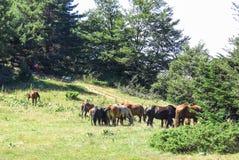 Vildhästar i de Catalan Pyreneesna, Spanien Royaltyfria Foton