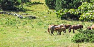 Vildhästar i de Catalan Pyreneesna, Spanien Fotografering för Bildbyråer