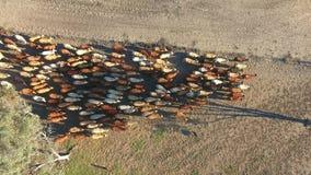 Vildmarknötkreatur som samlar med flocken av nötkreatur lager videofilmer