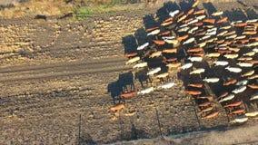 Vildmarknötkreatur som samlar med flocken av nötkreatur arkivfilmer
