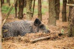 _ Vildsvin eller Sus Scrofa, också som är bekant som de lösa svinen, arkivfoton