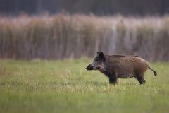 Vildsvin i en röjning Fotografering för Bildbyråer