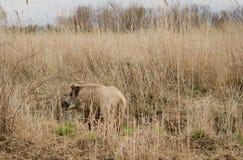 Vildsvin i långt gräs royaltyfria foton