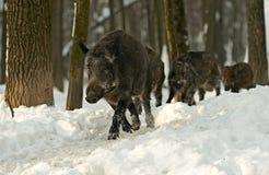 Vildsvin i vinter arkivfoto