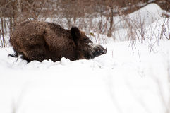 Vildsvin i vintern fotografering för bildbyråer