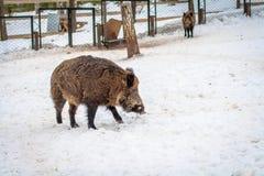 Vildsvin i vinterskog Arkivbild