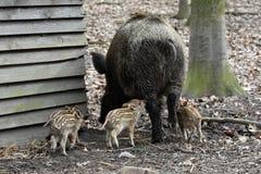 Vildsvin med unga svin Royaltyfri Bild