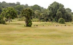 Vildsvin och impala Arkivbilder