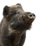 Vildsvin också wild pig, Susscrofa Arkivbild