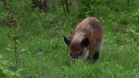 Vildsvin på skogen lager videofilmer
