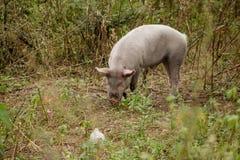 Vildsvin som betar gräset i en skog arkivbild