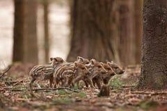vildsvin susscrofa, Tjeckien Arkivfoto