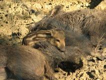 Vildsvinet behandla som ett barn Arkivfoton