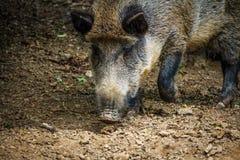 Vildsvinet brister med näsan i smutsen royaltyfria foton