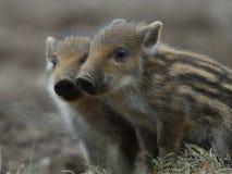 Vildsvinet kuper Fotografering för Bildbyråer