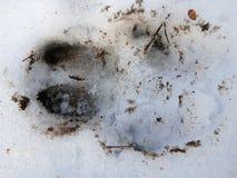 Vildsvinspår i snön, Royaltyfria Bilder