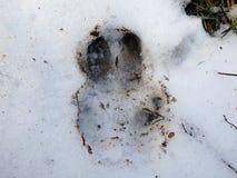 Vildsvinspår i snön, Arkivfoto