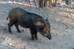 VildsvinSusscrofa, också som är bekant som löst svin royaltyfri fotografi