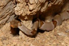 Vilkinsonii de biscutatus de Trimorphodon Photographie stock